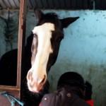 Voluntariado de Reiki para Cavalos