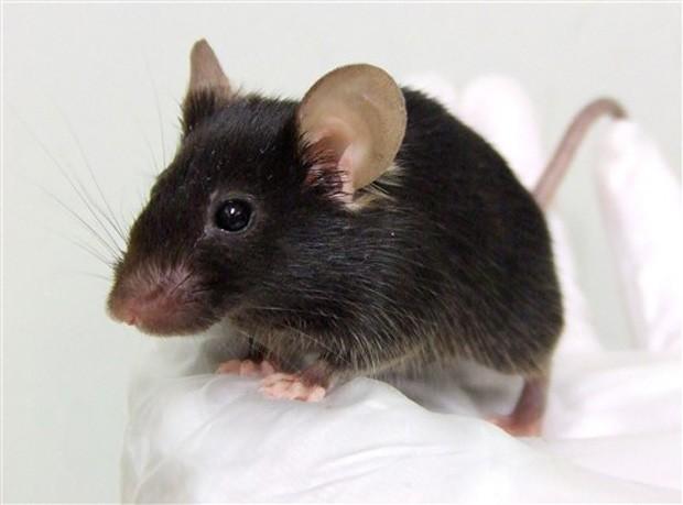 Efeitos do reiki na evolução do granuloma induzido através da inoculação do BCG em hamsters e do tumor ascítico de Ehrlich induzido em camundongos